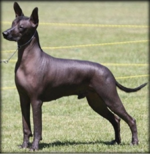 Example of Hairless Xolo
